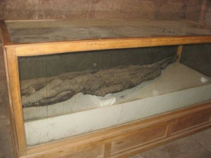 Mummified-crocodiles-on-display-in-the-Chapel-of-Hathor-at-Kom-Ombo